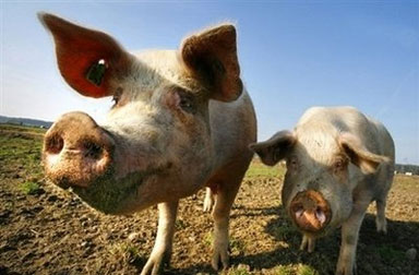 pigs-swine-flu